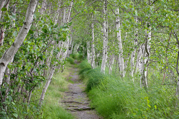 Summer Acadia Birches in Great Meadow